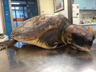 Los niños d'Escola Viva sueltan una tortuga de 34 kilos