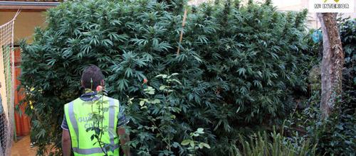 Detenido un hombre de 47 años en Artá por posesión de 74 kg de cannabis