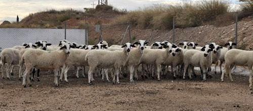 Exponerse a ganados de cabras aumenta el riesgo de cáncer de pulmón