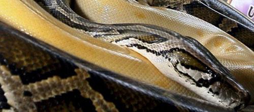 El plasma de la serpiente pitón puede mejorar la salud del corazón humano
