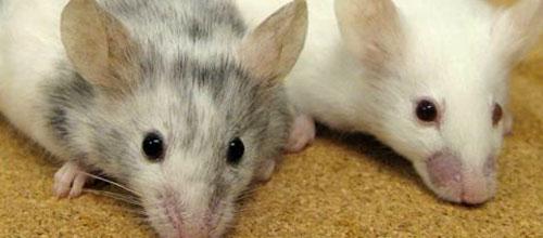Desarrollan una vacuna que ataca al cáncer de mama en ratones