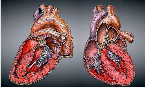 El descanso puede revertir los efectos de la insuficienccia cardiaca
