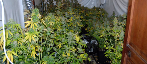 Detenidos tres jóvenes en Palma por poseer 92 plantas de marihuana