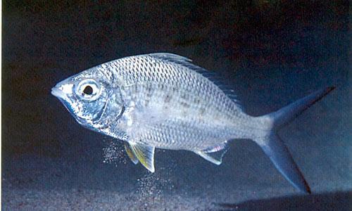 Los peces eligen presas grandes para ahorrar energía