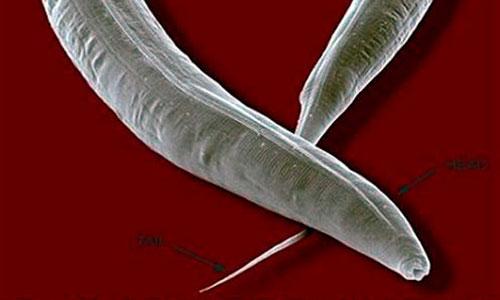 Hay un gusano cuya musculatura se adapta a los vuelos espaciales