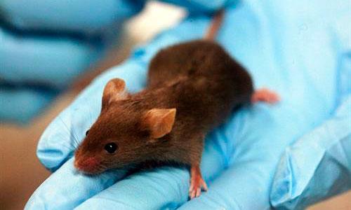 Un producto químico restaura la visión en ratones ciegos