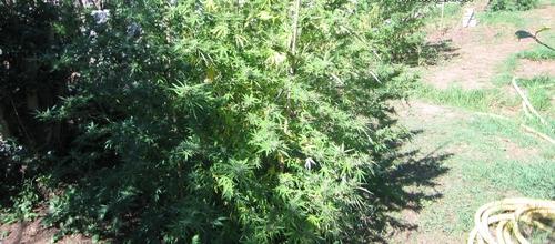 Detenido el propietario de una plantación de marihuana en Sóller