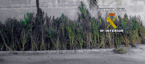 Incautados 100 kilogramos de marihuana en Artà y Fornalutx