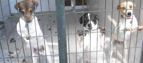 Las perreras se llenan de animales enfermos, incluso de raza
