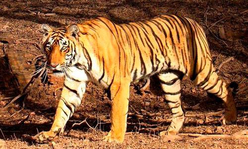 Los tigres eligen la noche para convivir con las personas