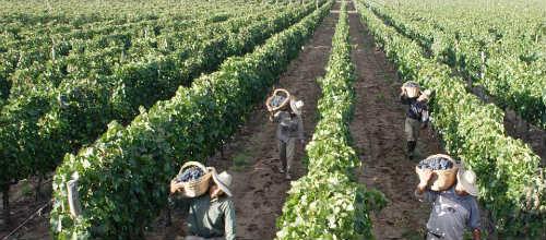 La sequía del verano mejora la calidad de los vinos de Binissalem