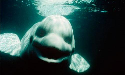 Las ballenas beluga pueden imitar la voz humana
