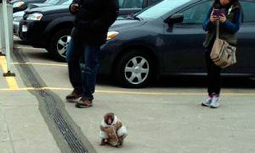 Un pequeño mono se pierde en un aparcamiento de Ikea