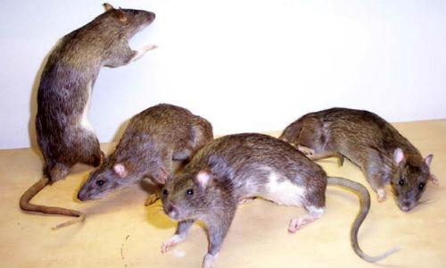 Una plaga de ratas afecta a toda la Playa de Palma