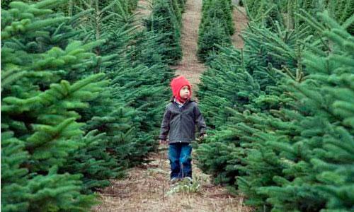 El futuro de los árboles de Navidad: ser triturados y servir como abono