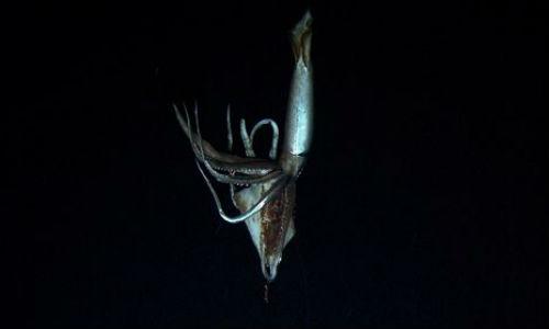 Primer vídeo de un calamar gigante