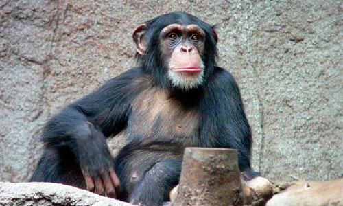 Los chimpancés también poseen sentido de la justicia