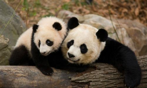 Los panda salvarán a la humanidad de las enfermedades
