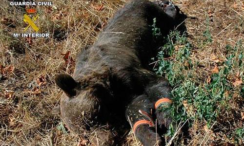 Dos detenidos en Asturias por matar un oso pardo