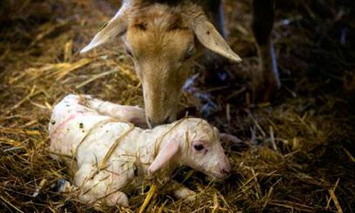 Nace un cordero con ocho patas y tres ojos