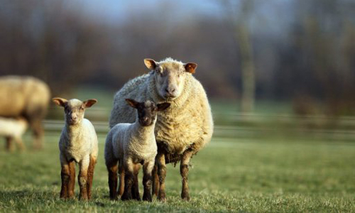 Paris usará ovejas para cortar el cesped