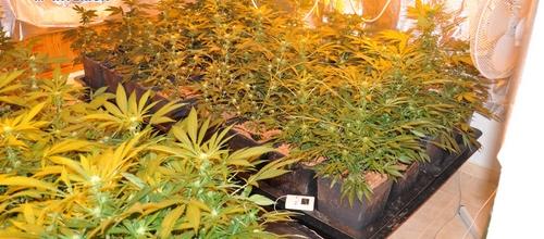 Detenido un hombre por poseer 134 plantas de marihuana