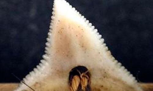 Identificadas dos nuevas especies de tiburón