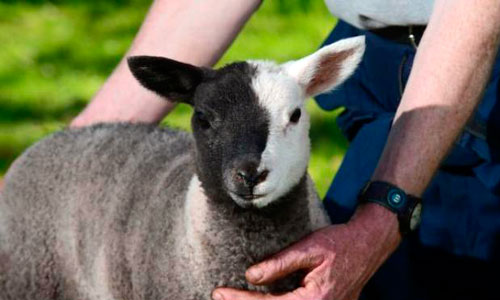 Una oveja de dos colores sorprende al mundo