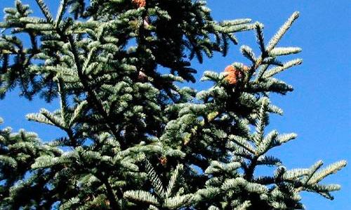 El genoma del pino de Navidad es 7 veces más grande que el humano