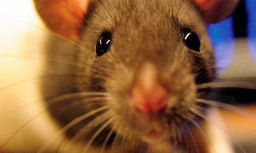 Las ratas tienen doble visión