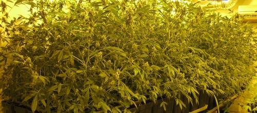 Detenidos por tener un laboratorio de marihuana con 800 plantas