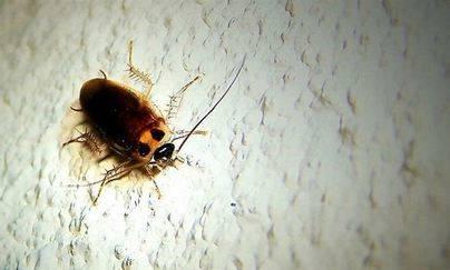 Cucarachas vivas teledirigidas con un iPhone