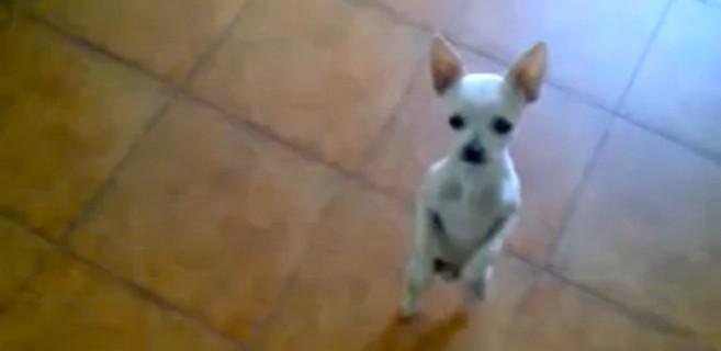 El perro 'bailaor' de flamenco