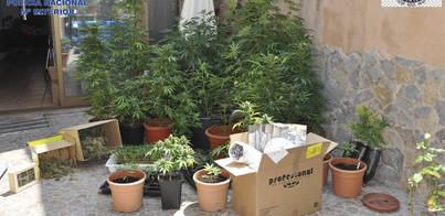 Detenido un matrimonio de Manacor con 88 plantas de marihuana