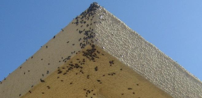 Cort retoma la lucha contra los mosquitos en Platja de Palma