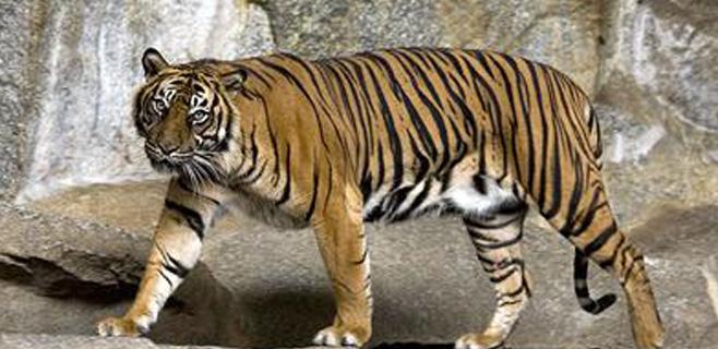 Acechados por los tigres