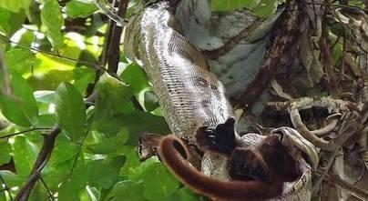 Un mono vivo es devorado por una boa constrictor