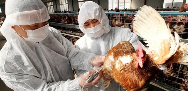 Primer caso de transmisión humana de la gripe aviar