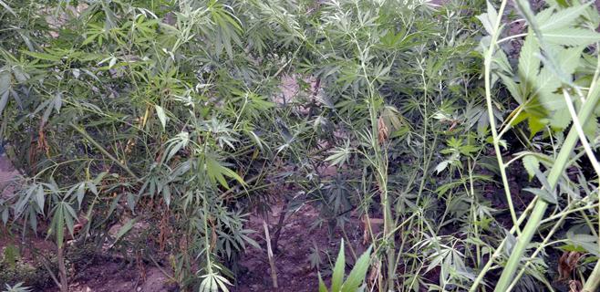 Desmantelada una plantación de marihuana en el barrio del Camp Redó