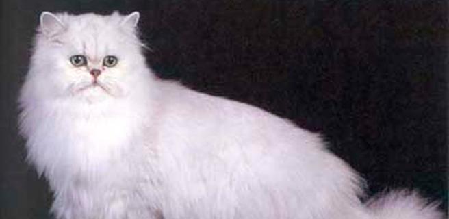 Irán enviará al espacio un gato persa