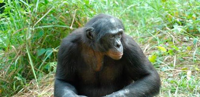Los chimpancés vocalizan como los humanos