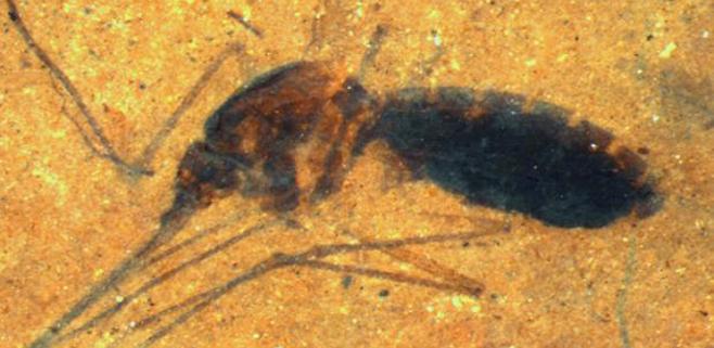 Descubierto un fósil de mosquito con sangre en su abdomen