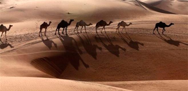 Concurso de belleza de camellos en Arabia Saud�