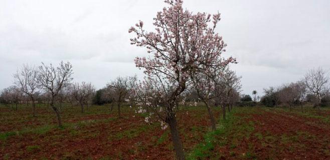 Los almendros en flor comienzan a tapizar Mallorca
