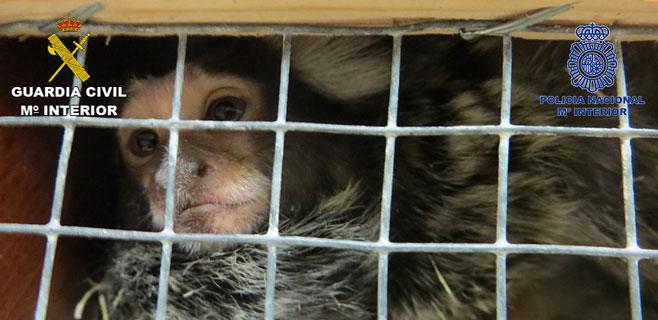 Detenidos 4 hombres por el robo de monos titis y otros animales exóticos