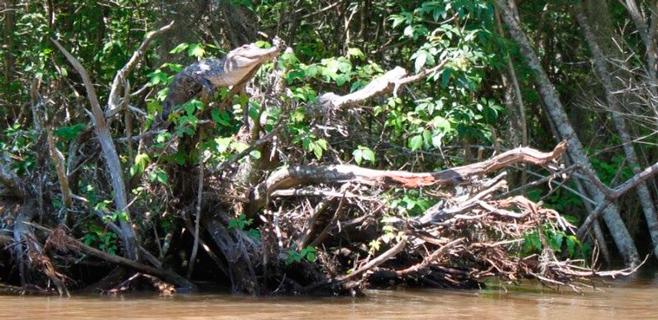 Los cocodrilos pueden trepar árboles