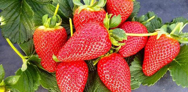 Las fresas reducen el colesterol y los triglicéridos