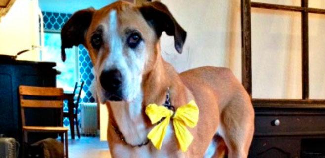 Un lazo amarillo para los perros a los que no les gustan los niños