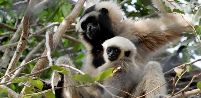 En extinción el primer primate por la acción del hombre