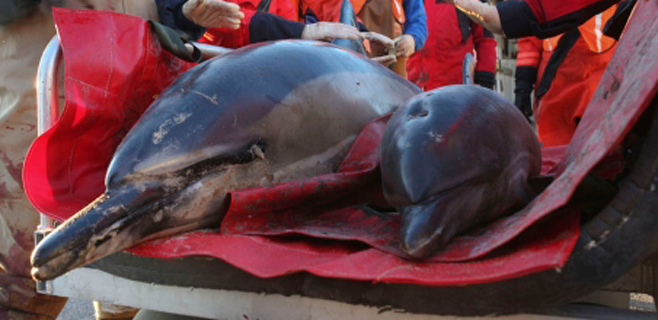 Los técnicos liberan a una docena de delfines que han varado en Alcúdia